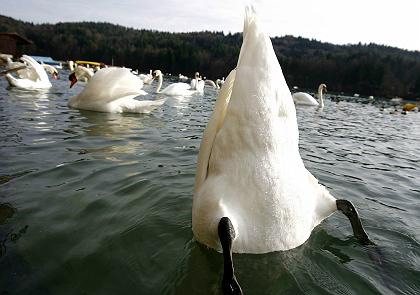 Guy_beat_up_with_a_swan